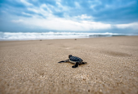 baby sea turtle on sea shore