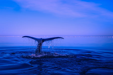 whale diving on body of water