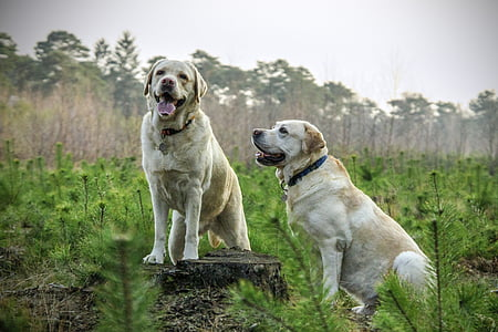 two adult yellow Labrador retrievers on grass field