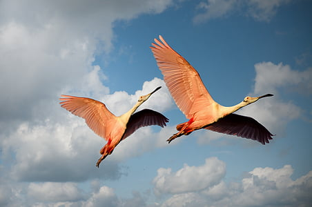 two pink birds flying under blue cloudy sky