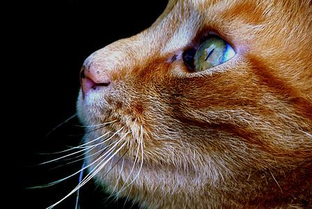 yellow tabby cat face