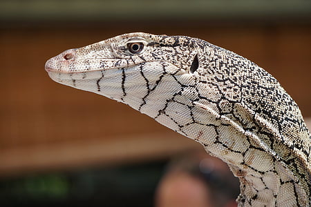 white and gray lizard