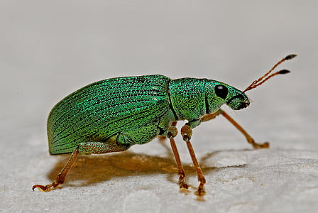 green weevil closeup photography