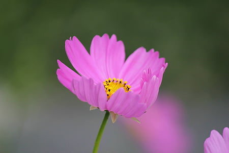 selective focus photography of pink cosmos flower