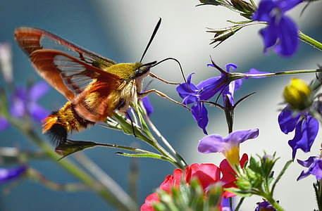 hummingbird moth perching on purple flower in close-up photography