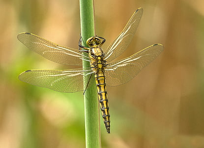 yellow and black darner dragonfly