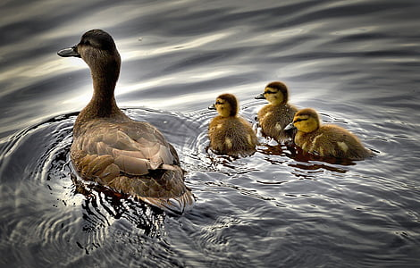 brown duck with three ducklings