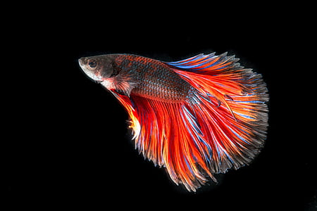 red and black full-moon betta fish