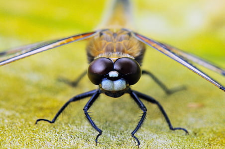 macro photography of black and yellow dragonfly