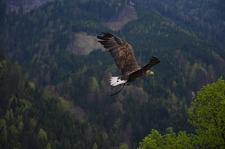 aerial photo of a flying bald eagle