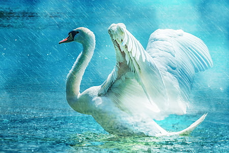 white swan illustration