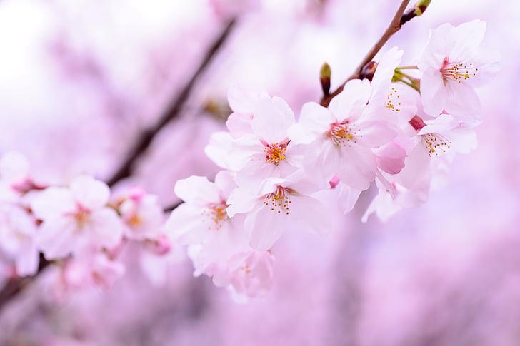 closeup photo of pink cherry blossoms