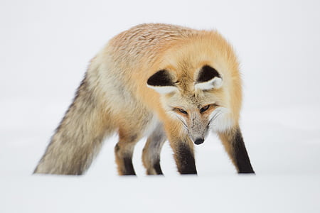 wildlife photography of fox during winter