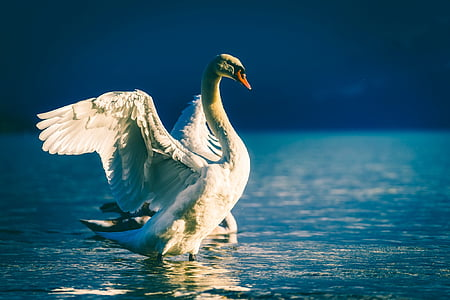 white swan in water during daytime