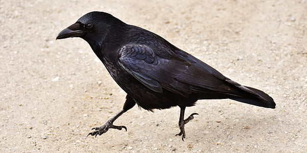 black crow on gray sand