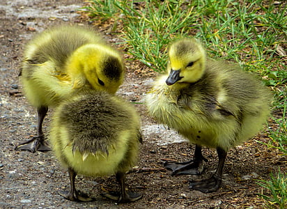 three green-and-gray ducklings