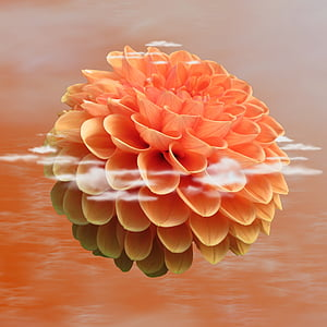 orange dahlia flower with reflection