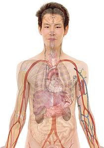 human organ illustration