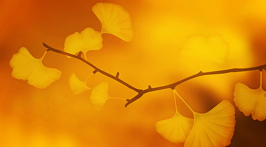 yellow ginkgo leaf