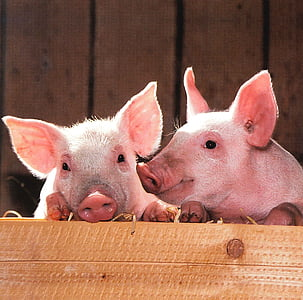 two pink piglets