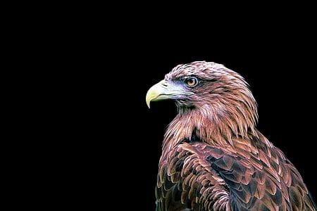brown eagle on black background