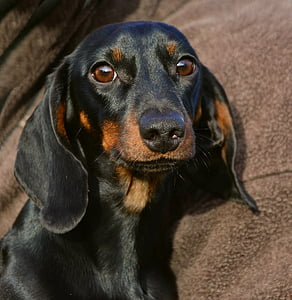 photo of smooth back and tan dachshund