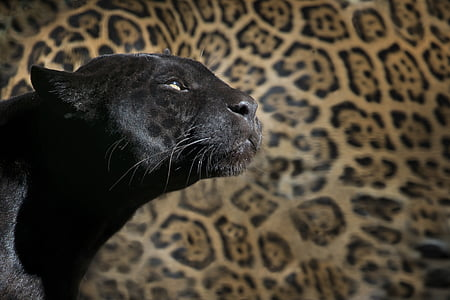 black panther with leopard skin background