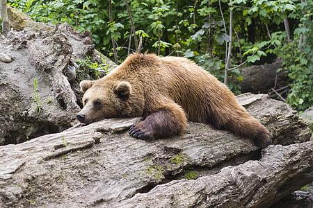 brown bear lying on brown tree