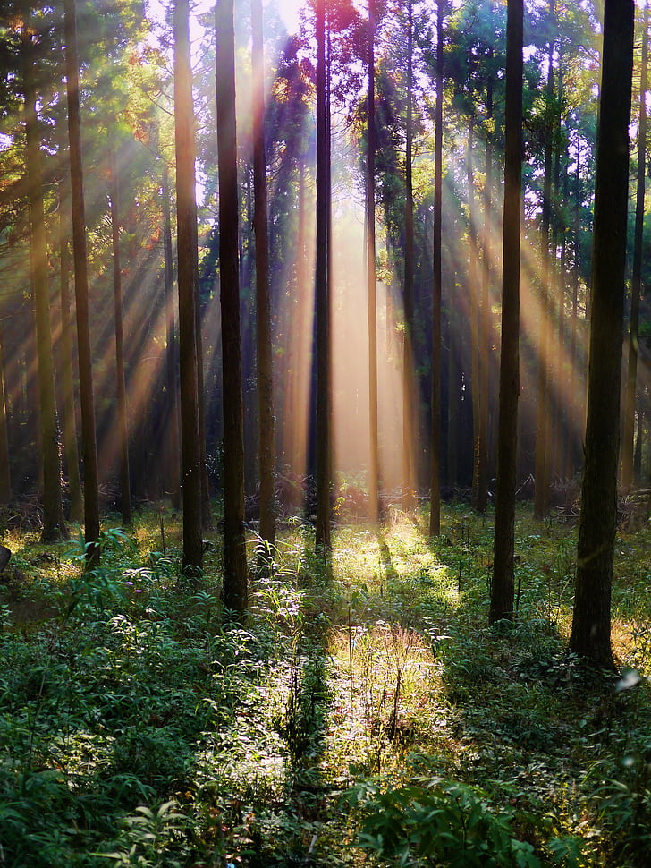 sunbeam shown in forest during dayime