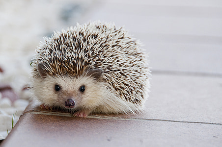 selective focus photography of hedgehog
