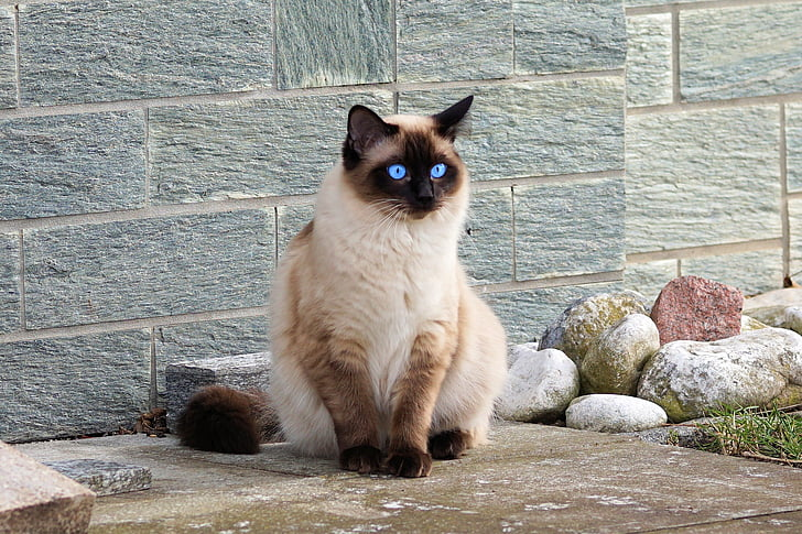 Himalayan cat sitting beside stones