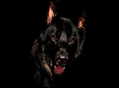 adult short-coated black dog in black background
