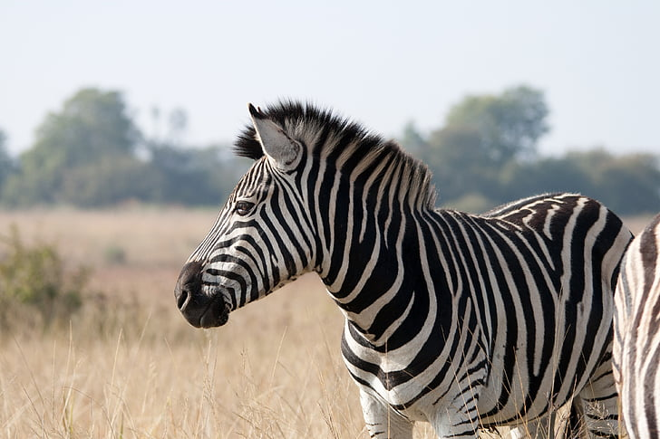 wildlife photography of zebra