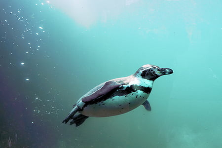 white and black penguin swimming under water