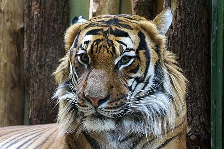 orange tiger photo