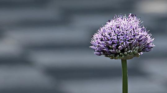 purple allium flower closeup photo