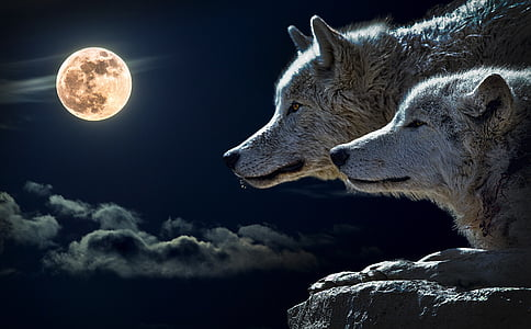 two wolves looking at full moon wallpaper