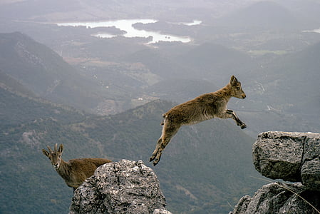 brown goat jumping between the gray rocks