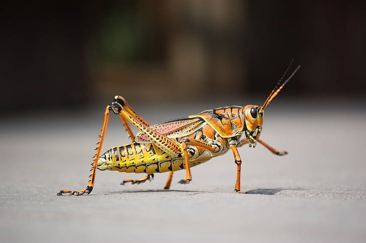 orange and beige grasshopper