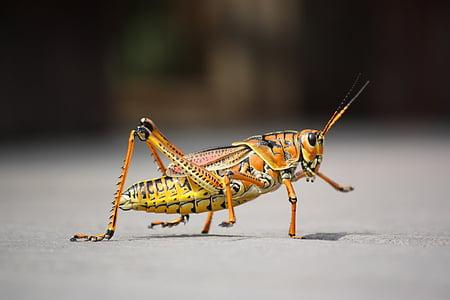 orange and beige grasshopper