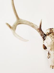 white reindeer skull