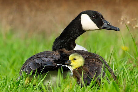 black and brown duck with duckling on green grass