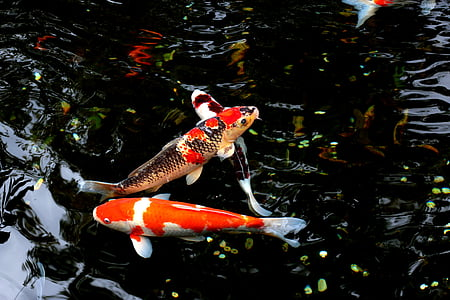 two Koi fishes