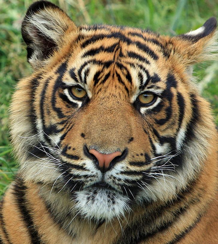 tiger on grass