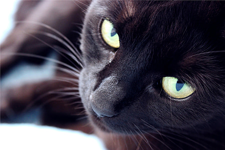 closeup photograph black cat