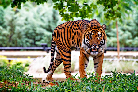 tiger standing on green grass during daytime