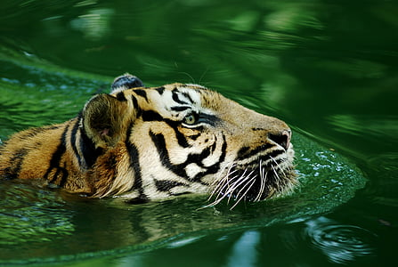 tiger animal in body of water