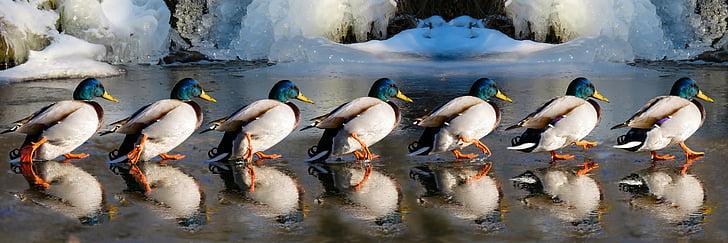 photography of six male Mallard ducks at daytime