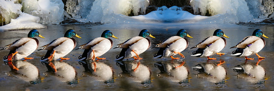 photography of six male Mallard ducks at daytime