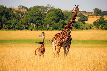 giraffe beside calf on dry grass land during daytime